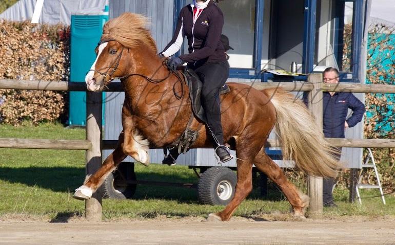 Bedækning video heste Miniature hingst
